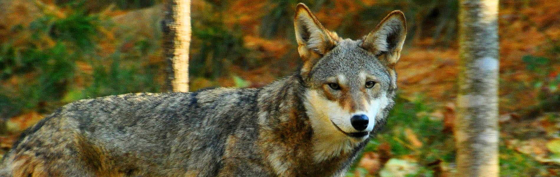 Symbolically Adopt a Red Wolf