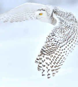 Snowy Owl Adoption Kit