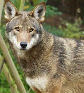 Red Wolf Adoption Kit